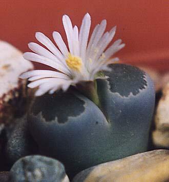 Lithops salicola L.Bolus